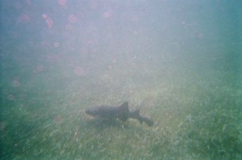 Another Nurse Shark, there were lots of them but they were very shy