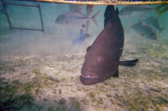 A very friendly Black Grouper and some Horse-eye Jacks taken at Hol Chan Marine Reserve