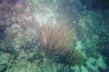 Unidentified fish hiding in some Gorgonian coral