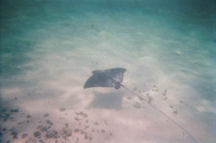 A Spotted Eagle Ray at Mexico Rocks - look at that tail!!