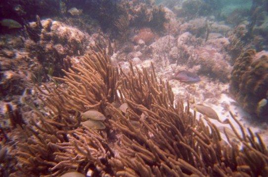 Definitely Caesar grunts in Gorgonian coral