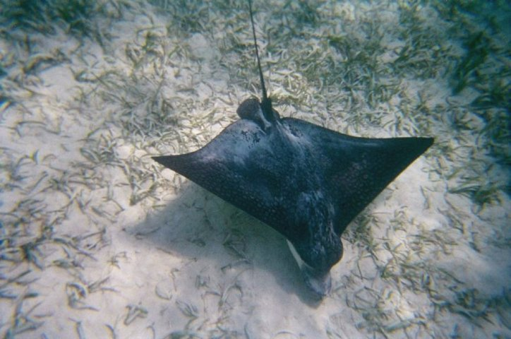 The Eagle Ray back again for another pass by