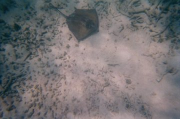 A Southern Stingray spotted at Mexico Rocks