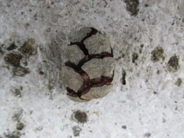 cyprus pine cone