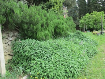 giant rosemary and sage