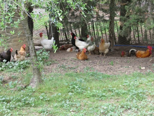the neighbourhood chickens crowed constantly