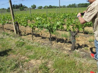 The older (thicker) vines were more widely spaced, the new vines planted in between are at the modern spacing