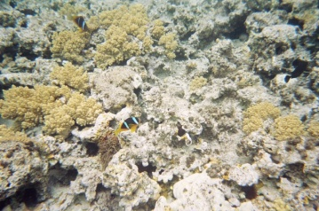 Two Bar Anemone Fish