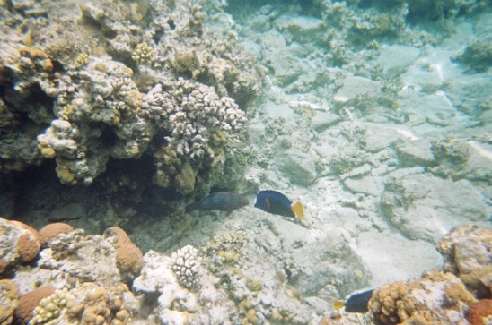 Yellowtail Surgeonfish and some wrasse or parrotfish of some kind
