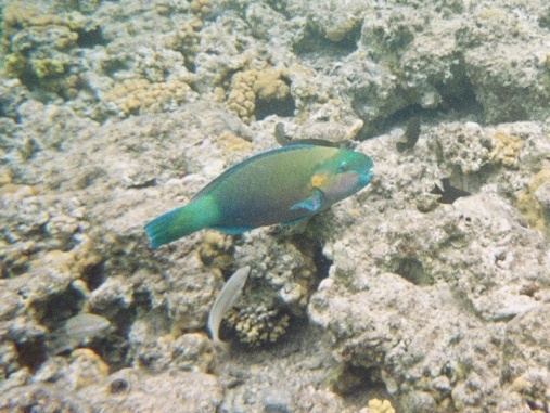 Much better colour shot of the Rusty Parrotfish.