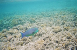 Thought this was a Rusty Parrotfish but the tail's all wrong and it was much bigger....