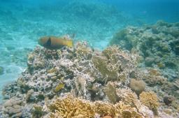Parrotfish - type unknown