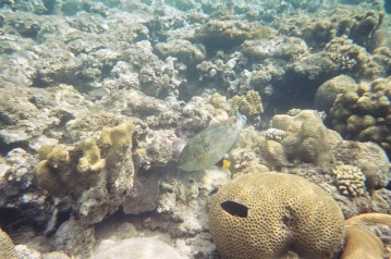 This is the least colourful parrotfish we've seen that wasn't a female. Its a Captain Parrotfish.
