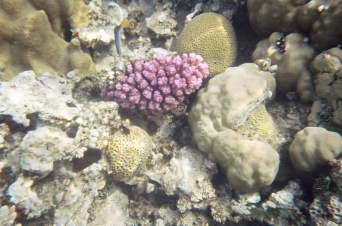 Red Sea Bird Wrasse again with some more of that purple coral