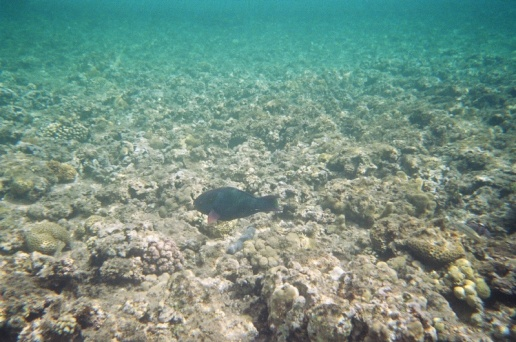 I think this a Rusty Parrotfish although 'rusty' hardly does the colouring justice nor does this photo.