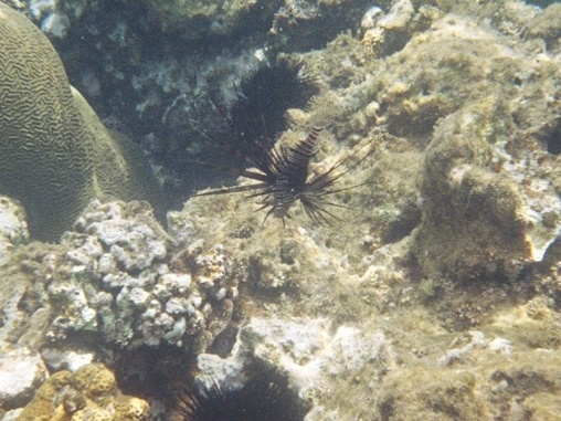 Another Turkeyfish with a sea urchin the background.