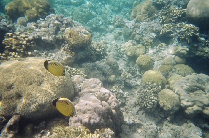 Exquisite Butterfly fish. Saw quite a few of them, always in pairs.