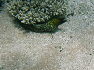 Moray eel. This guy didn't like having his photo taken and was quite aggressive. We left him alone fairly quickly! There was a much larger Grey Moray under the same coral the evening before.
