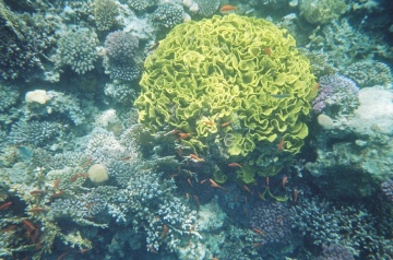 This fantastic coral was about 1 metre across and a vibrant lettuce-y green. Wish I knew what it was!