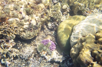 The coral was beautiful though none of these images can capture the depth of the colour. The purple one in the middle may be Acropora nobilis or Stylophora pistatta. Or not....