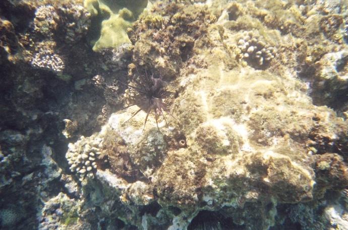 Turkeyfish aka Lionfish. Those spines are poisonous!