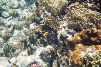 Two Bar Anemone fish (sans anemone) and some more basslets.