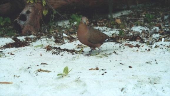 Curious bird at Maho Bay