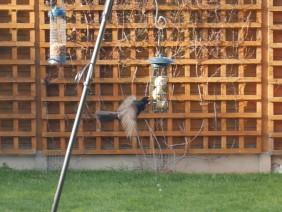 Blackbird jumping at fat balls