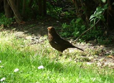 Female blackbird