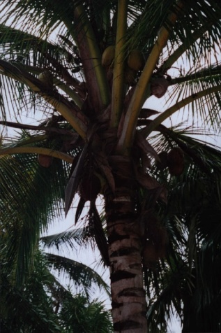 and the shade of the coconut trees