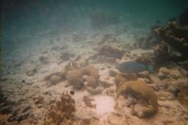Spotlight Parrotfish