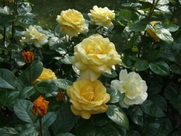 Aren't roses brilliant?