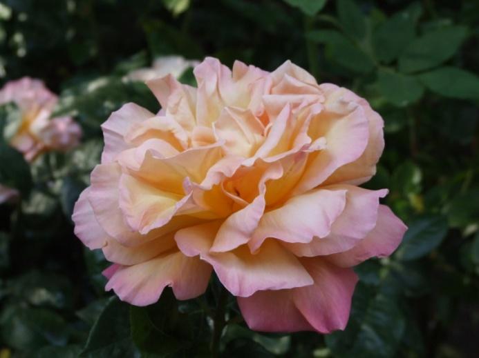 Isn't this rose brilliant?
