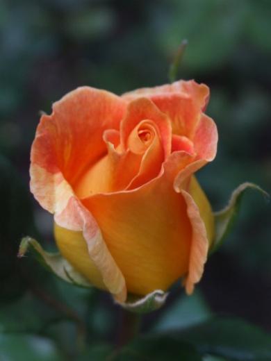 Aren't rose buds brilliant?
