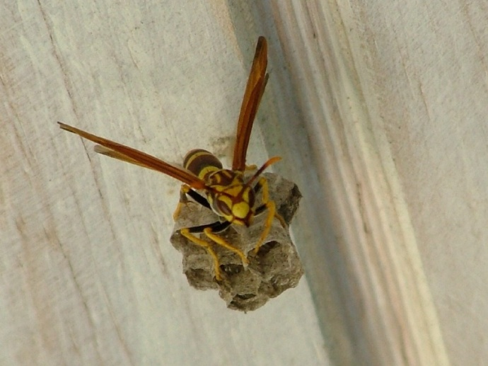 Local wasp (in the porch of the villa)