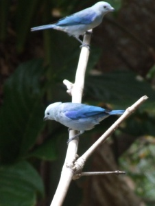 The blue-gray tanagers here are a deeper blue than the ones on the main island