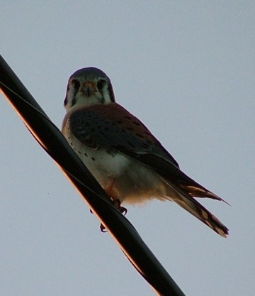 I also saw a pair of American Kestrels (or Sparrow Hawk - although it's not a Hawk it's a Falcon)