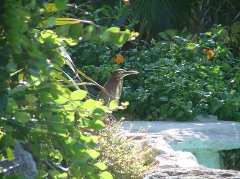 Local heron (in the top pool)