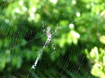 Local spider (in the yard)