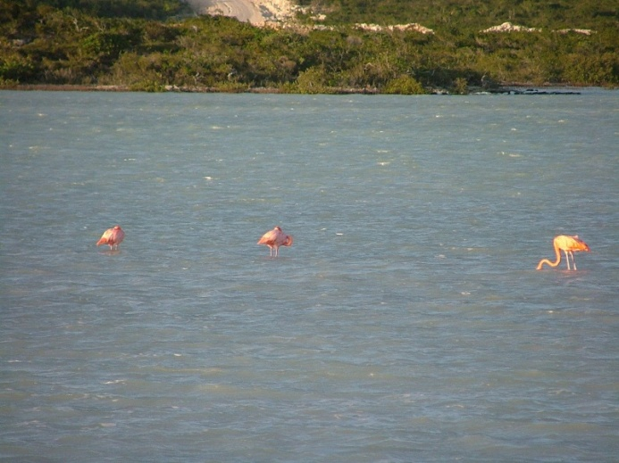 and here are the flamingos