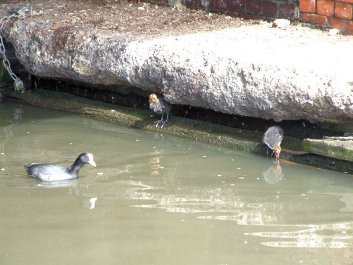 Baby coots in Little Venice