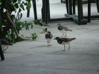 In the harbour side restaurants you are plagued by sandpipers, better than pigeons :)
