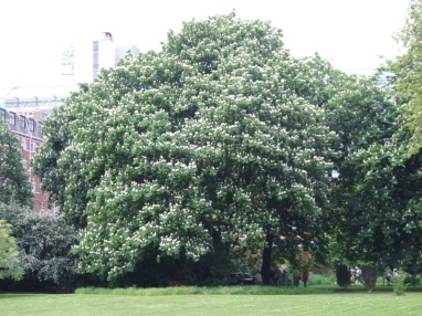 Enormous chestnut trees!