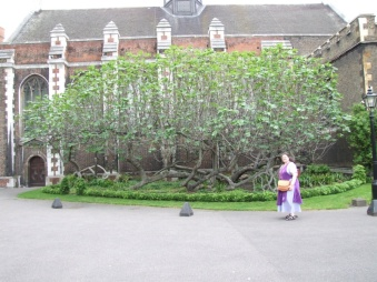 Fig tree planted in 1556
