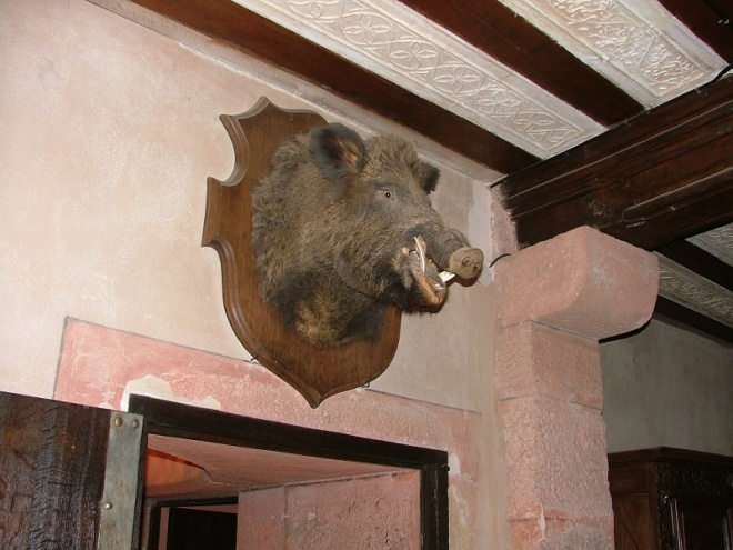 The trophy room - there are still wild pigs living in the woods. Not many this big I bet.