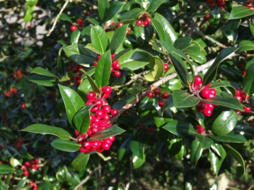 There won't be any holly for Christmas 'cos all the berries are out now!