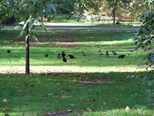 A murder of crows or a parliament of rooks?