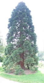 Baby Giant Redwood