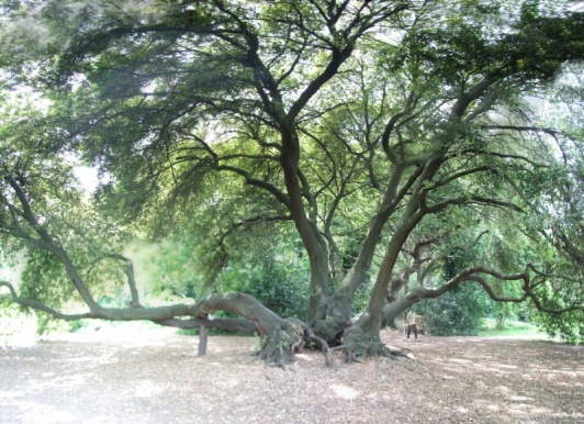 Is this the 500 year old oak?