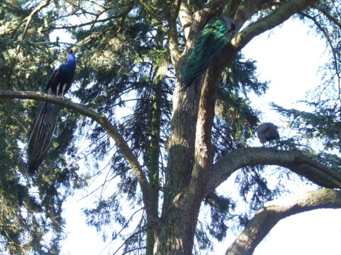 Two peacocks chasing a peahen up a tree!